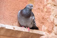 Beautiful Feral pigeon in Venice, Italia Stock Photos