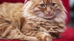 Yellow Cat Staring Into Space Stock Footage