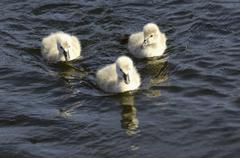 Three signets, young swans in blue water - stock photo