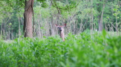 Deer sticking head up above tall grasses remaining still - stock footage