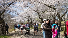 HD Timelapse Cherry Blossoms or Sakura Flowers at High Park, Toronto, May 2015 Stock Footage