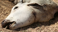 Head of dead cow with shot wound and flies flying around the body, closeup. Stock Footage