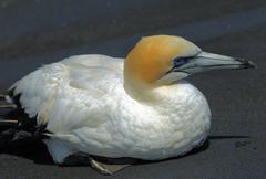 Injured gannet on black sand beach Stock Photos