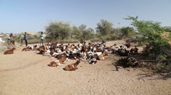 Cattle lying and walking around at field, with cattle keepers standing aside. Stock Footage
