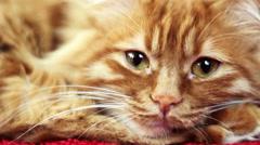 Closeup of Sleepy Cat Face - Slowly Closing His Eyes Stock Footage