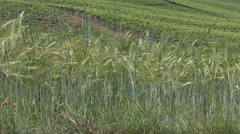 Unripe, green barley (Hordeum vulgare) moving in the breeze. Stock Footage