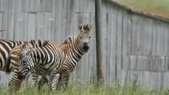 Active Domesticated Zebra on a Farm with Barn in Background Stock Footage