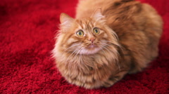 Yellow Cat Sitting on Carpet and Looking Up Stock Footage