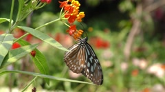 A Ceylon Blue Glassy Tiger Butterfly Stock Footage