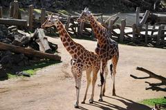 Pair of giraffes in captivity, Auckland Zoo, New Zealand Stock Photos