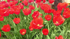 4K Variety of tulips in a field, UHD dolly shot stock video Stock Footage
