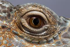 Closeup Eye of Green Iguana - stock photo