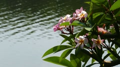 Branches of flowering plumeria and lake Stock Footage
