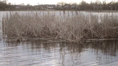 Dry stem, reeds swaying in the wind and grows in the middle of the lake Stock Footage