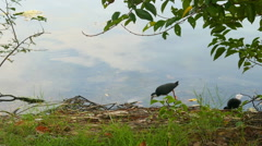 White-breasted Waterhen bird and her nestling - stock footage