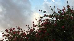 Hummingbird feeding on bottlebrush tree Stock Footage