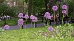 Purple Alliums Flowers Springtime Park Spring Slow Motion 4K NYC Stock Footage