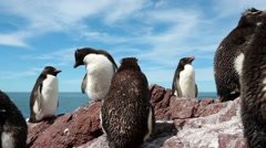 Colony of Rockhopper Penguins Stock Footage
