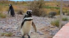 Magellanic Penguin (Spheniscus magellanicus) - stock footage