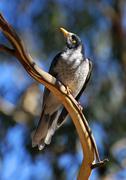 Australian Noisy Minah bird, Victoria, Australia - stock photo