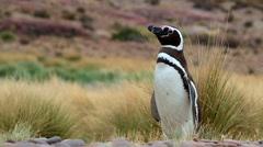 Magellanic Penguin (Spheniscus magellanicus) Stock Footage