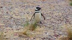 Magellanic Penguin (Spheniscus magellanicus) Stock Footage