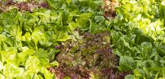 cos and red oak vegetable field - stock photo