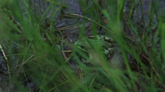 The wild green frog sitting in a summer grass Stock Footage