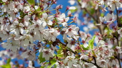 Branch of Japanese Sakura tree with Cherry blossom flowers Stock Footage