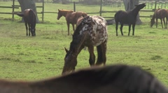 Horses in a paddock Stock Footage