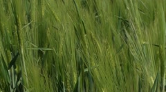 Green rye, close up Stock Footage