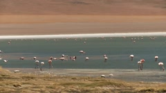 Lagoon with flamingos in Bolivia Stock Footage