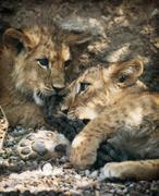 Two beautiful lion cubs Stock Photos