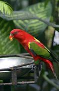 Red parakeet, lori - stock photo