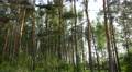 pine  forest. Coniferous trees Footage