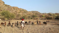 Indian cattle keeper at field with cattle pasturing aside. Stock Footage