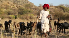 Indian cattle keeper walking down the field with cattle pasturing aside. Stock Footage