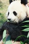 Panda eating bamboo - stock photo
