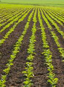 Lined pattern of the sugar beet plants on the field Stock Photos
