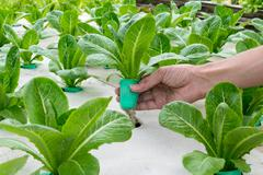 Organic hydroponic vegetable on hand in garden. - stock photo