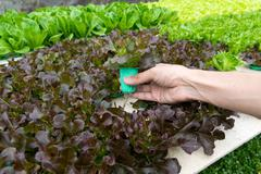 Organic hydroponic vegetable on hand in garden. Stock Photos