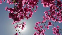 Bougainvillea flower - stock footage