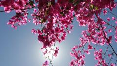 Pink Bougainvillea - stock footage