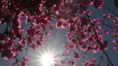 Bougainvillea flower swaying in the sunshine - stock footage