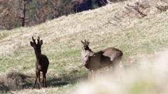 Roe deer barking at camera Stock Footage