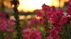 flower garden in sunset:4K - stock footage