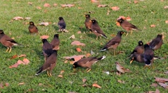 Common Myna (Acridotheres tristis) Several birds looking for dinnner Stock Footage