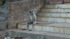 Ape sitting in human resembling position on stairs in Jodhpur. Stock Footage