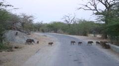 Herd of wild pigs crossing a rural road in Jodhpur. Stock Footage