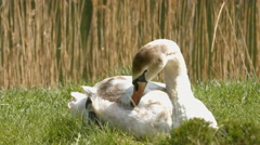 Swan in a meadow near the river Stock Footage